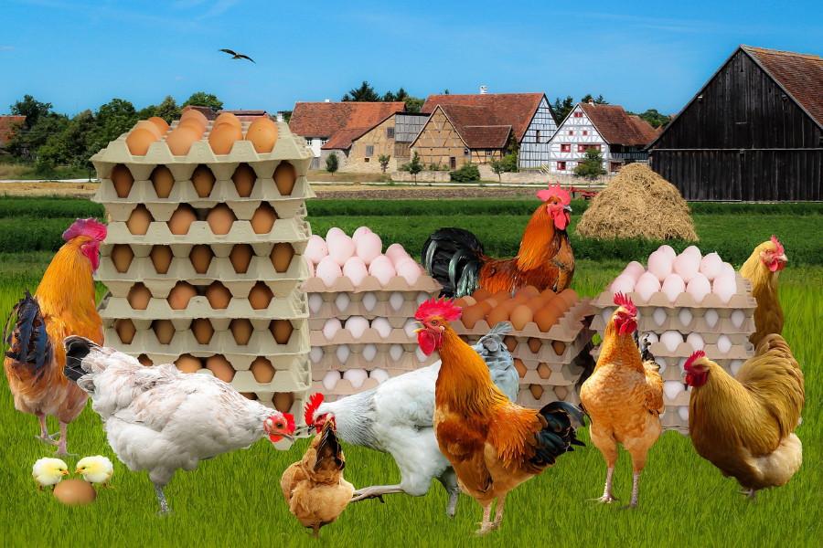Come allevare galline ovaiole in giardino all'aperto